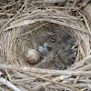 Song sparrow nest