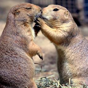 Prairie Dog Kisses by Janet Lyle - Animals Other Mammals ( wildlife, gophers )