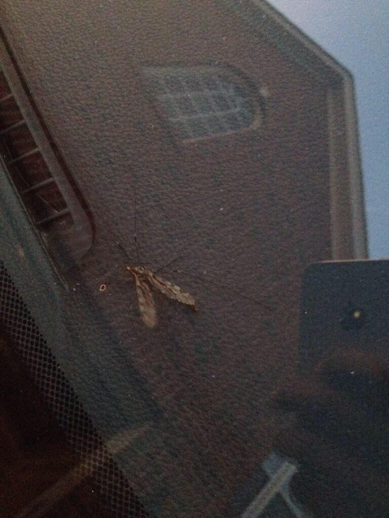 Baileya moth