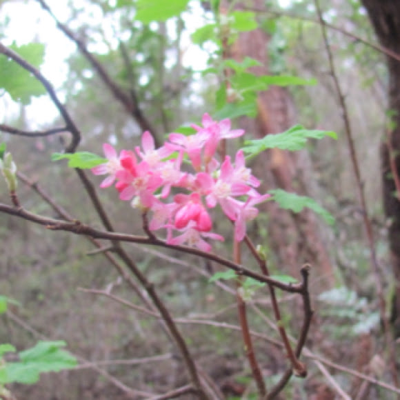 Pink Flowering Currant Project Noah
