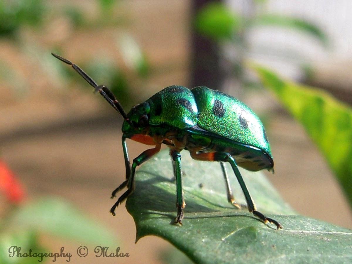 Lychee Shield Bug
