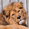 Lion, león