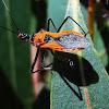 Spiny Orange assassin bugs