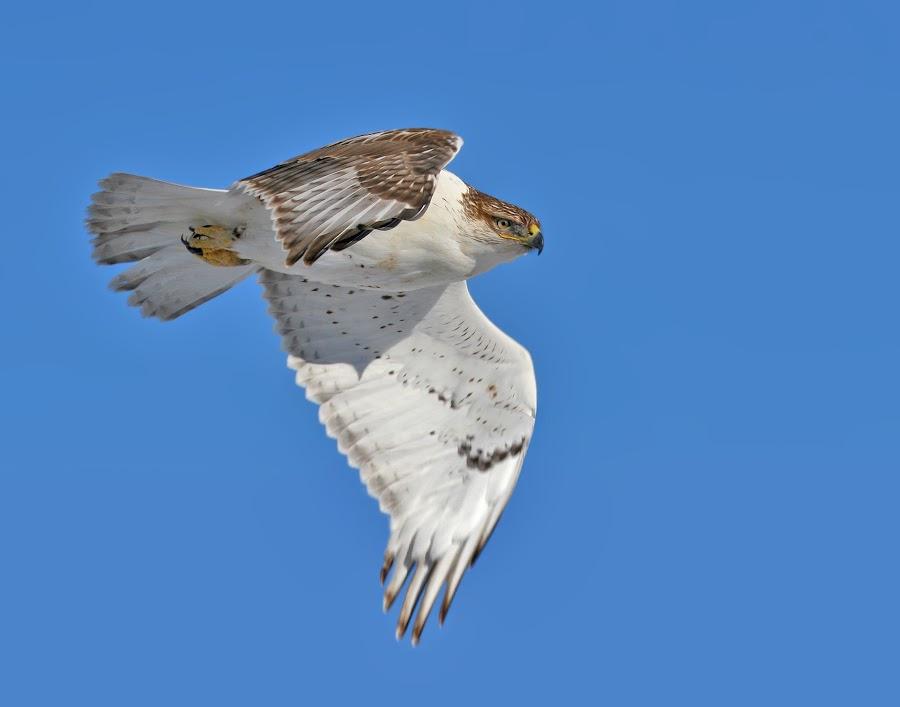 Ferruginous Hawk in Flight by Terry Sohl - Animals Birds ( ferruginous, stare, south dakota, prey, contact, hawk, bird, flight, of, flying, buteo, sky, regalis, blue, fly, horizontal, raptor, eye,  )
