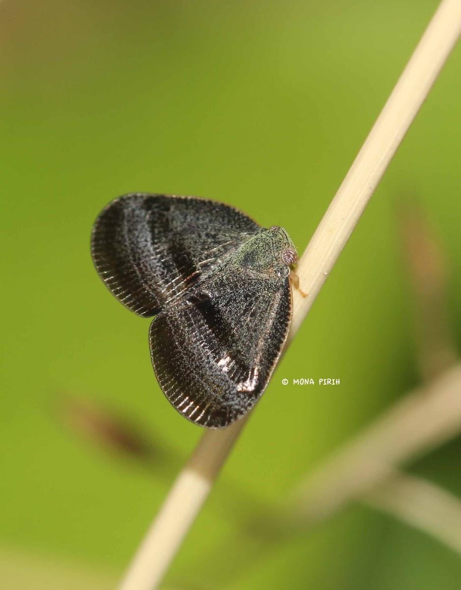 Ricaniid leafhopper