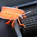 Bright Shield Bug Nymph