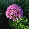 Jättilaukka; Gladiator Allium