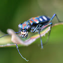 Golden-spotted tiger beetle(金斑虎甲)