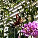 Clearwing sphinx moth