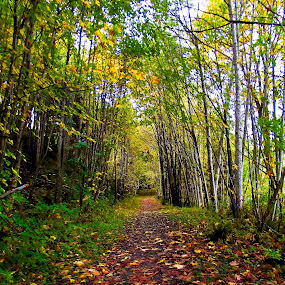 In the Grove by Art Straw - Landscapes Forests ( autumn, fall, trail, path, trees, yellow, leaves, maple, nature, landscape )