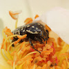 Dotted Fruit Chafer
