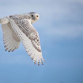 the Snowy Owl by Desiree DeLeeuw - Animals Birds ( winter, wildlife, beach, birds, snowy owl, owls, new jersey, bird, fly, flight )