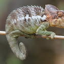 Warty Chameleon