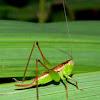 female katydid nymph