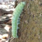 Saturniid Moth (caterpillar)