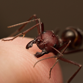 Taste of the Pain by AhMet özKan - Animals Insects & Spiders ( canon, macro, penetrate, raynox, bite, ant, jaws, skin )