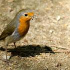 Robin - Pitroig
