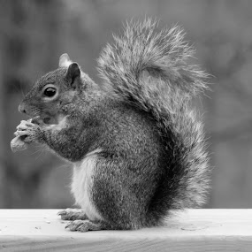 Hungry Squirrel On Railing by Maureen McDonald - Black & White Animals ( hungry squirrel, b&w animal, feeding wildlife, squirrel, kentucky, black and white, animal,  )