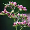 Flor de marañon (Cashew flowers)