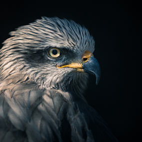 Eagles Fly Free by Nemanja Stanisic - Animals Birds ( bird, free, eagle, sharp, freedom, strong, stare, beak, power, powerful, eye,  )