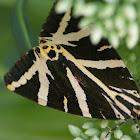 Ecaille chinée (fr) / Jersey Tiger (en)