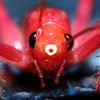 red katydid/bush cricket