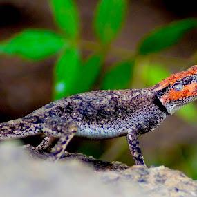 Peninsular Rock Agama by Faizan Hussain - Animals Reptiles ( lizard, nature, wildlife, close up, colours )