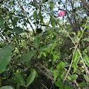 Hibisco Enano(Brazilian Rosemallow)