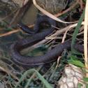 Blotched water snake (dark phase)