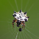 black and white spiny orb-weaver