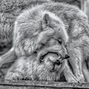 wolve hierarchy by Horst Winkler - Black & White Animals ( wölfe, kämpfe, wien, kampf, schönbrunn, fight, wolve, wolves, vienna, rangordnung, zoo, wolf, fighting, hierarchy, black and white, animal )