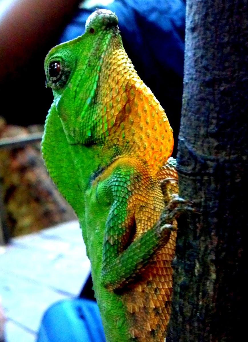 Hump nosed lizard