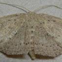 Waxmyrtle Wave Moth