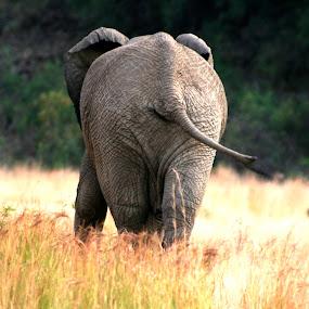 The Elephant  by Hush Naidoo - Animals Other Mammals ( elephant, wildlife, beauty in nature, mammal;,  )