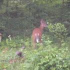 Northern Whitetail Deer