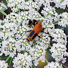 Pennsylvania Leatherwing or Soldier Beetle