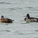 Ring-necked Duck (pair)