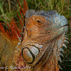 Green iguana (breeding males)
