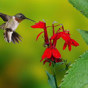 Ruby and the cardinal by Lyle Gallup - Animals Birds ( cardinal flower, bird, red, hummingbird, flowers, , fly, flight )