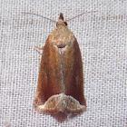 Curved Halter Moth