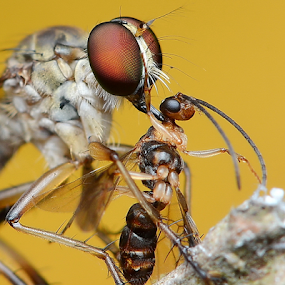 Robber Fly With Prey by Niney Azman - Animals Insects & Spiders ( rf taman rekreasi su )
