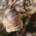 Chinese Mantis Egg Case (ootheca)