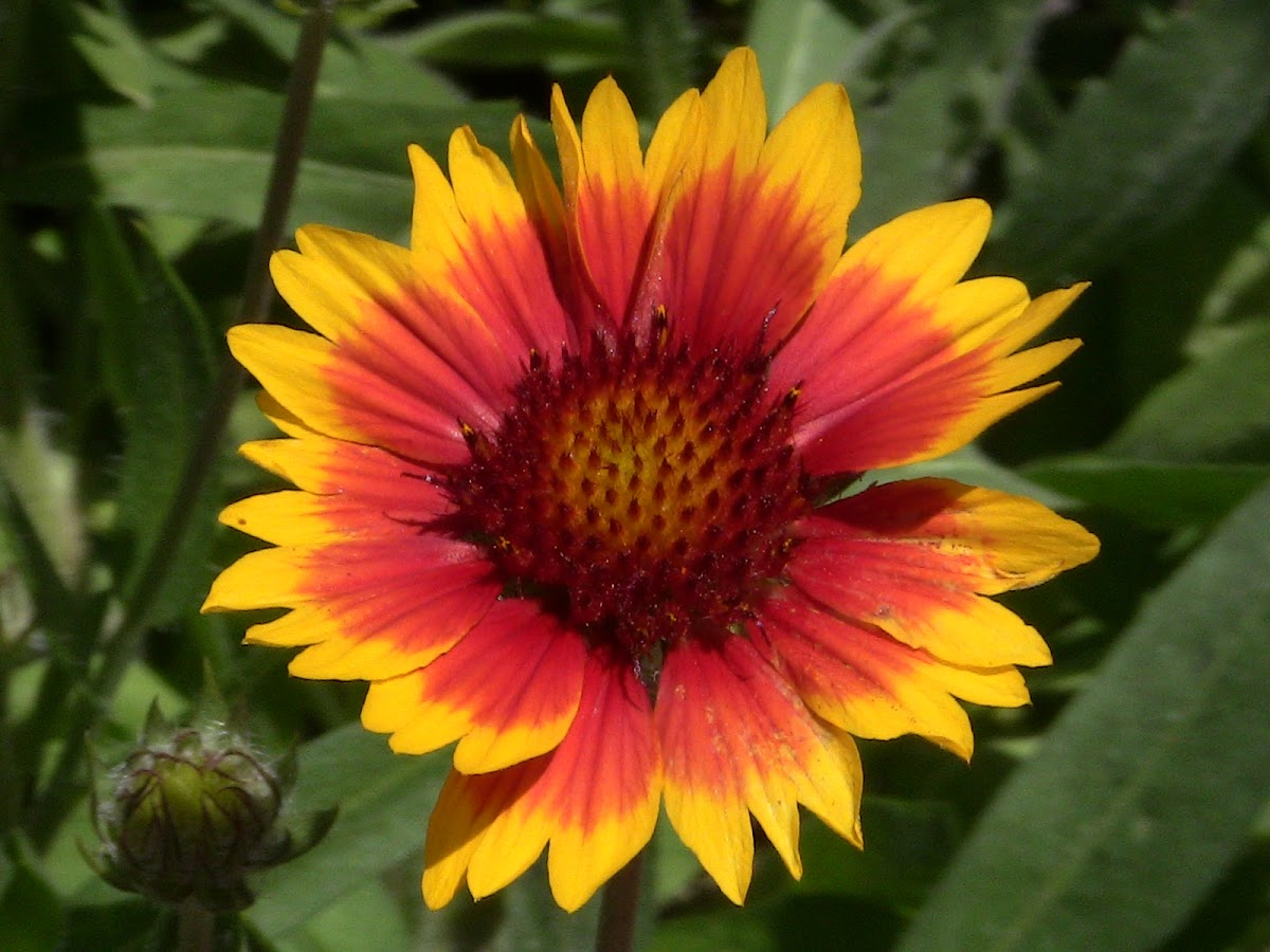 Common Gaillardia