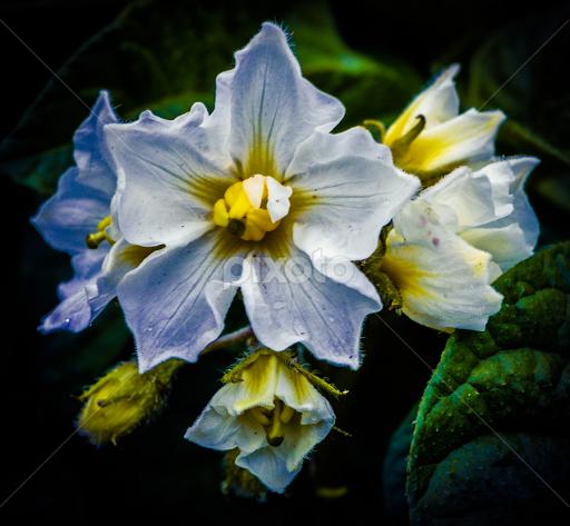 Potato Plant Flower
