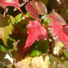 Ampelopsis viviendo el otoño