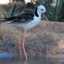 Black Winged / Pied Stilt