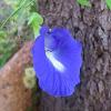 butterfly-pea, blue-pea