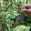 White Crab Spider & Common Mime Butterfly & Leopard Lacewing Butterfly