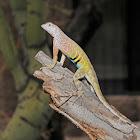 Greater earless lizard (male)
