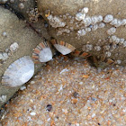 Smooth Limpet